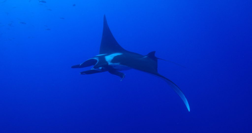 Manta From RED Camera(c)KipEvansMissionBlue