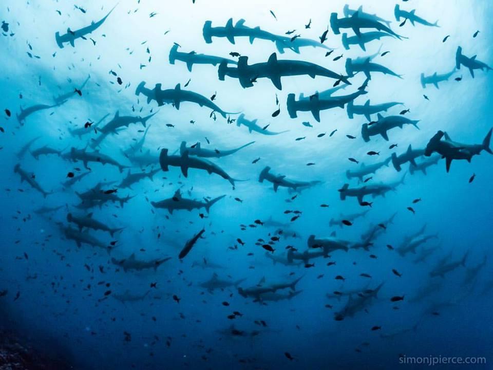 Photo: Simon Pierce, Schooling Hammerhead Sharks, Galápagos.