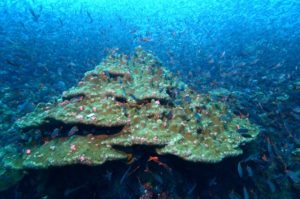 ©  Jonathan Feingold:  Lobed Coral