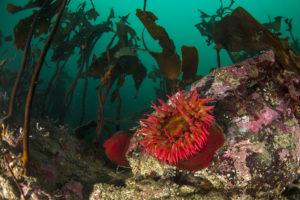 Kelp_Rose Telia Anemone