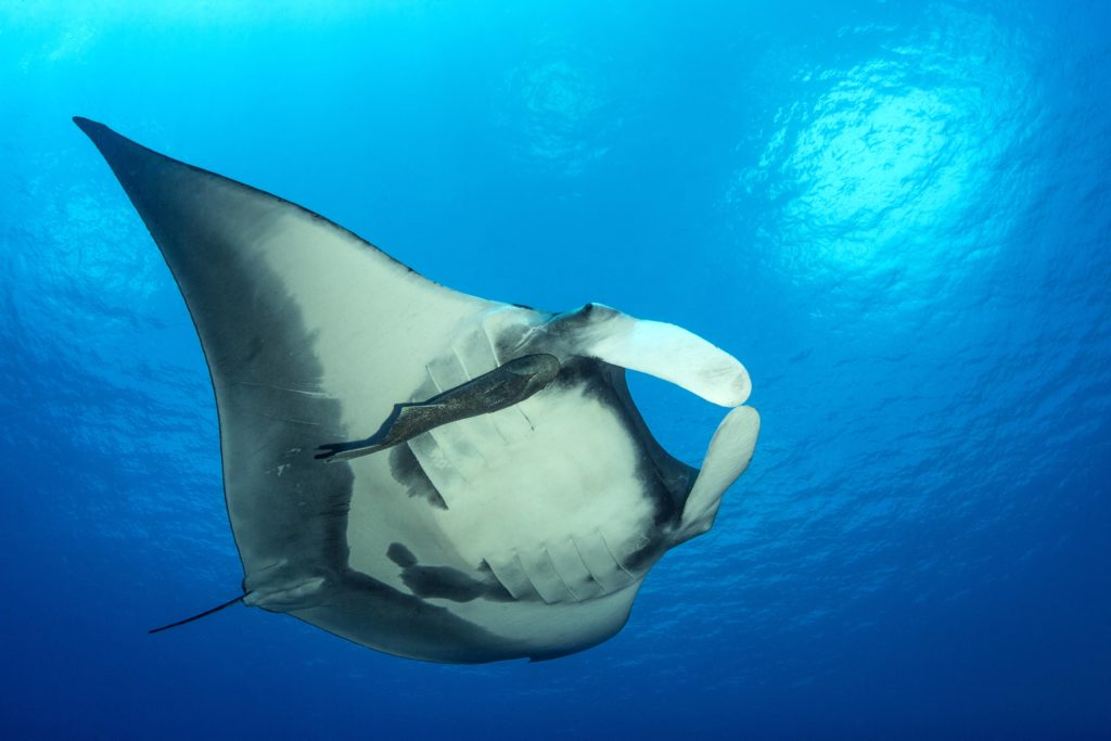 A Giant Oceanic Manta at the Revillagigedo Archipelago (c) 2017 Kip Evans Mission Blue
