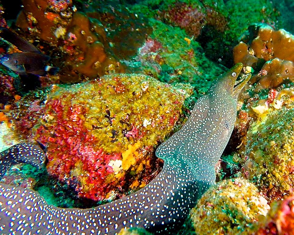 © Trish Schoen, Spotted Moray Eel, Cousins Rock, Galápagos.