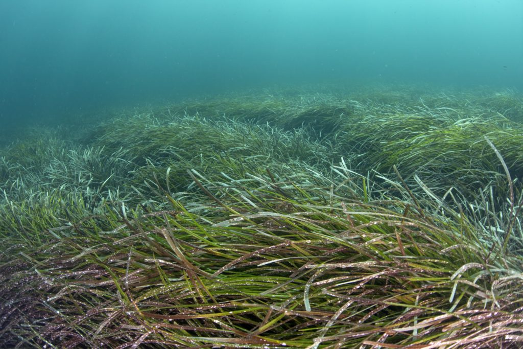 Mediterranean Sea Grass Meadow (c) Kip Evans Mission Blue