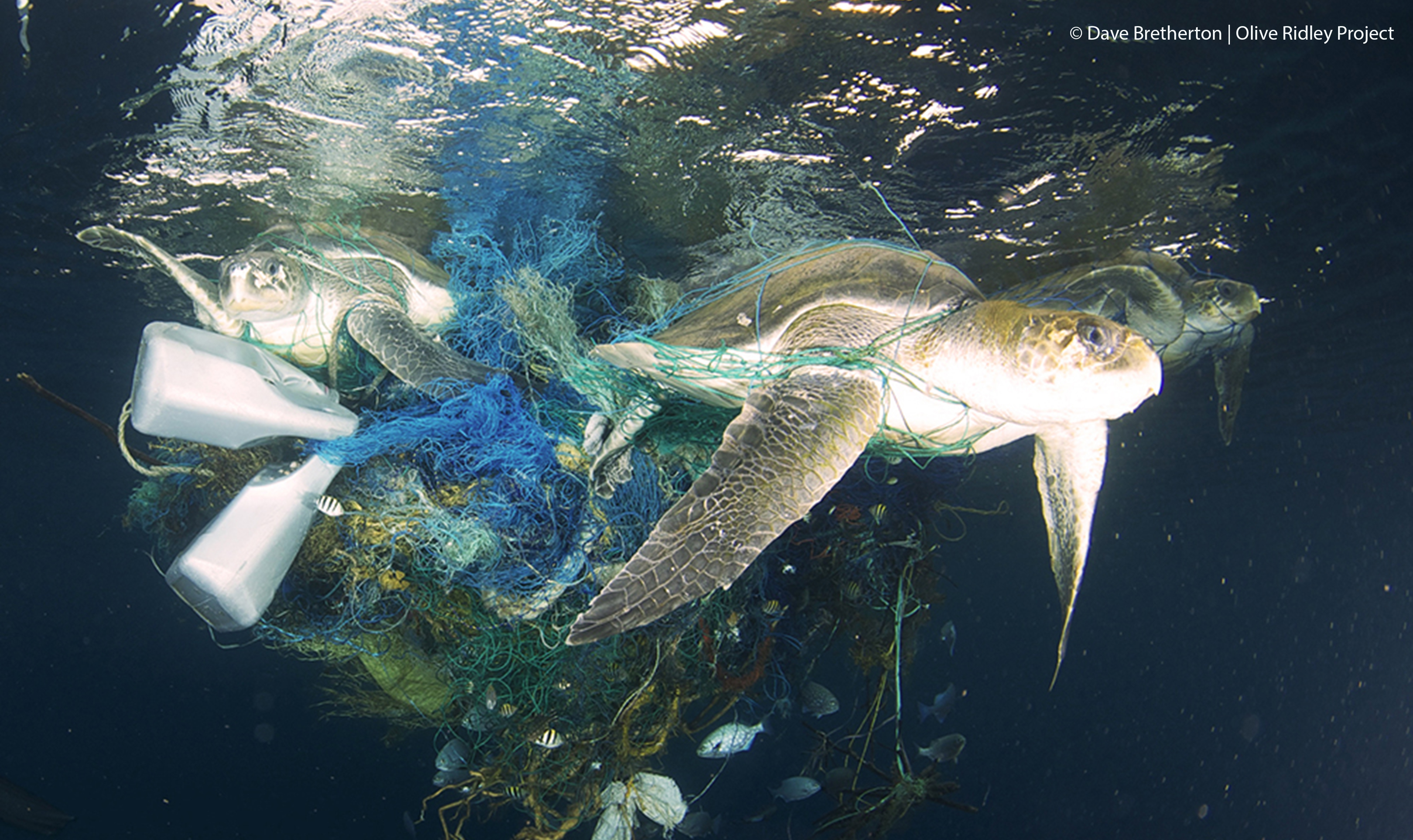 Three olive ridleys found entangled in a ghost net in the Maldives. (c) Dave Bretherton