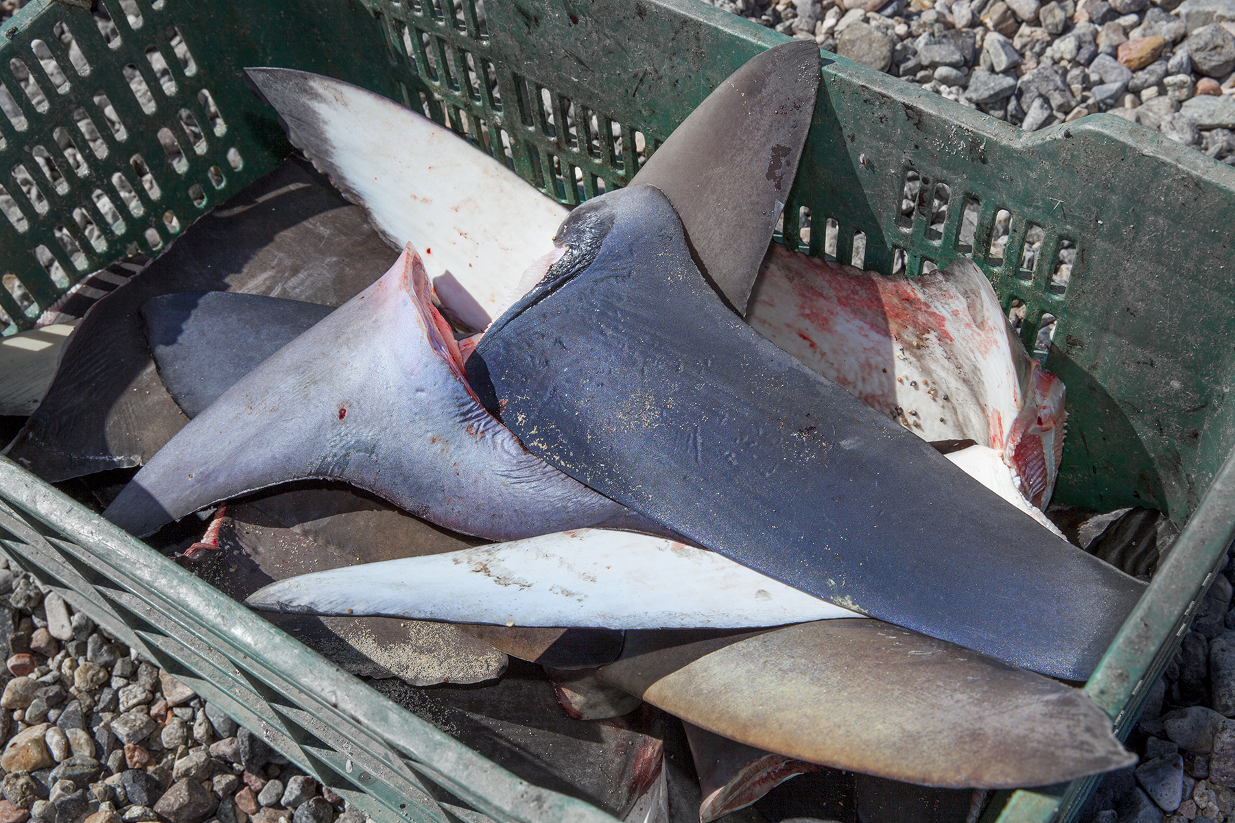 shark finning Shark finning: sharks turned prey freshly cut dorsal fin from a scalloped  hammerhead shark held by fisherman with knife a fisherman holds a freshly cut .