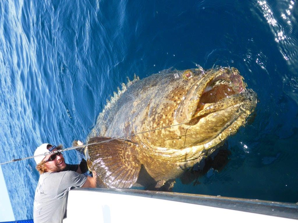Protect the critically endangered goliath grouper from for Blue fish florida