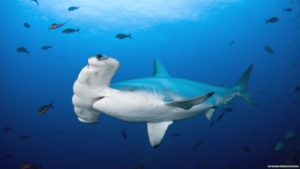 BBC: Saving sharks: One woman's mission to protect the hammerhead